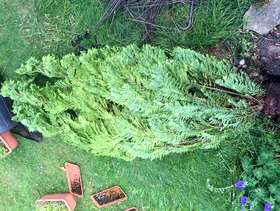 Freecycle Conifers