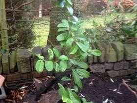 Freecycle Small Laurel bush
