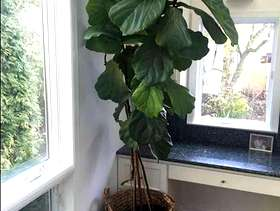 Freecycle Free Tall Houseplant + Basket