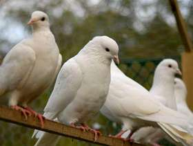 Freecycle Doves