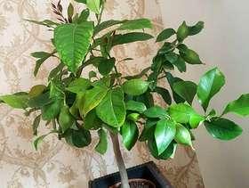 Freecycle Lemon tree