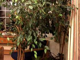Freecycle 7-foot weeping fig plant