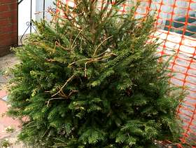 Freecycle Potted Christmas Tree