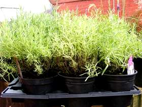 Freecycle Lavenders for sale