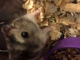 Freecycle 2 Hamsters up for Adoption!
