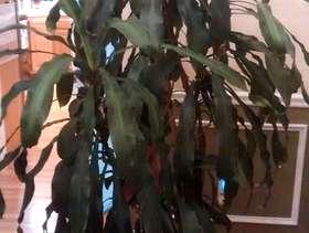 Freecycle Dracaena plant