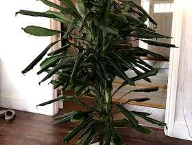 Freecycle Dracaena indoor plant